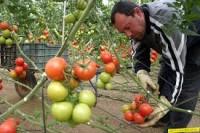 Oferty pracy w Niemczech przy zbiorach pomidorów 2014